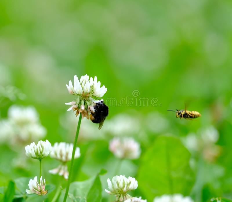 Bumblebee zbiera nektar od kwiatu obrazy royalty free