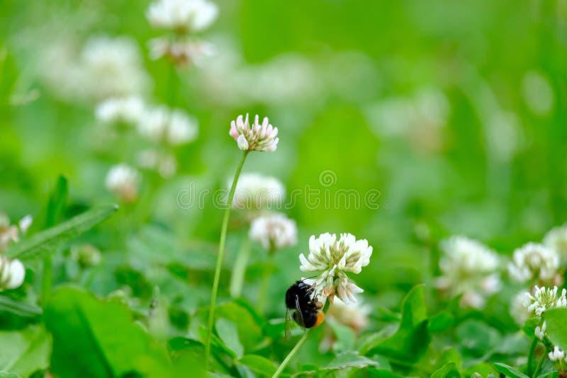 Bumblebee zbiera nektar od kwiatu obraz stock