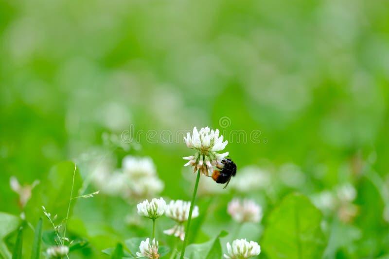 Bumblebee zbiera nektar od kwiatu fotografia royalty free
