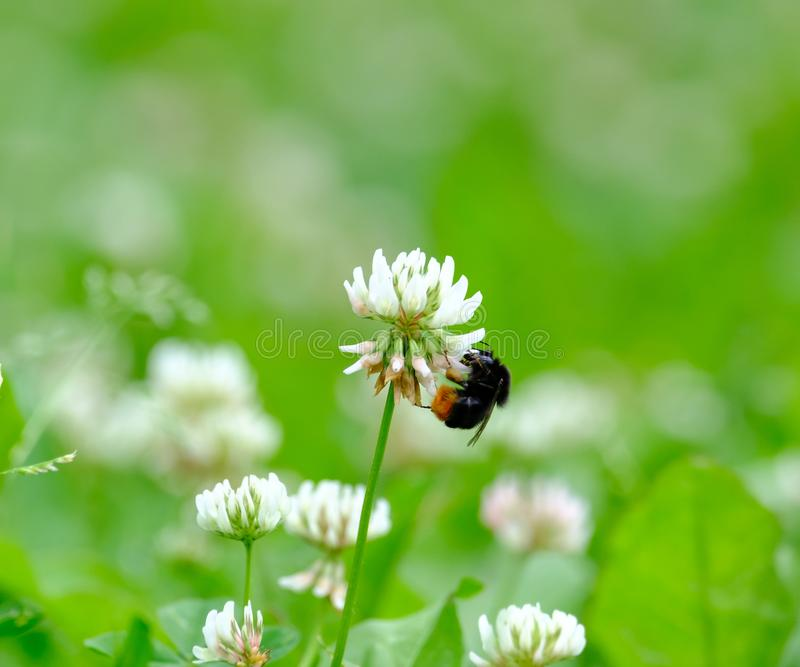 Bumblebee zbiera nektar od kwiatu zdjęcie royalty free