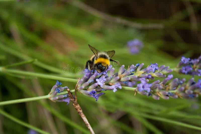 Bumblebee zbiera nektar od lawendowego kwiatu zdjęcia stock