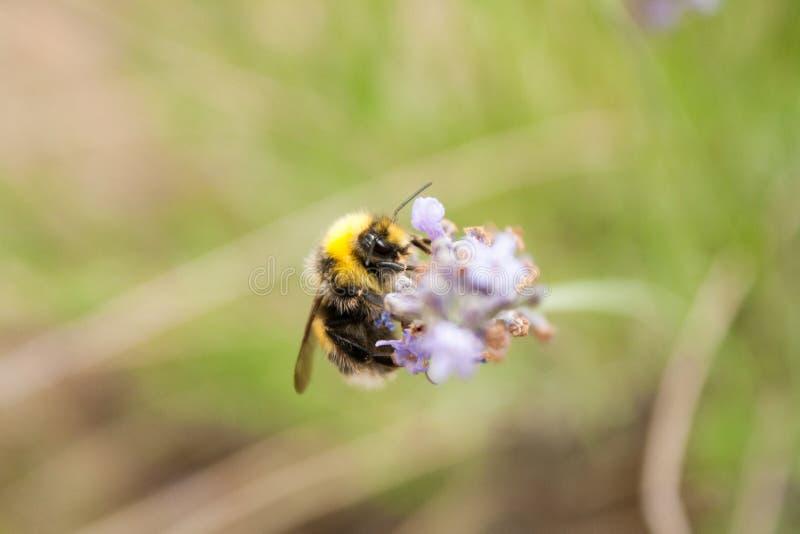 Bumblebee zbiera nektar od lawendowego kwiatu obraz stock