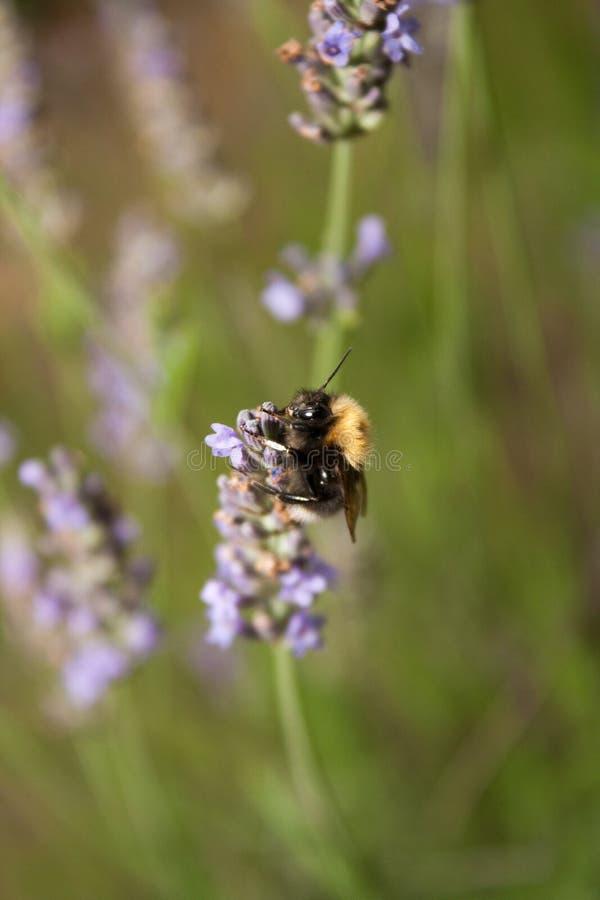 Bumblebee zbiera nektar od lawendowego kwiatu zdjęcia royalty free