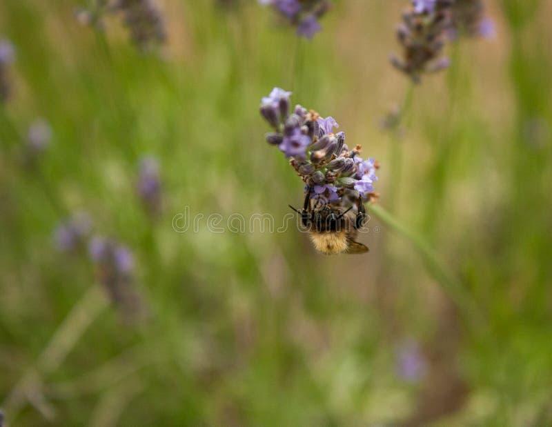 Bumblebee zbiera nektar od lawendowego kwiatu fotografia royalty free