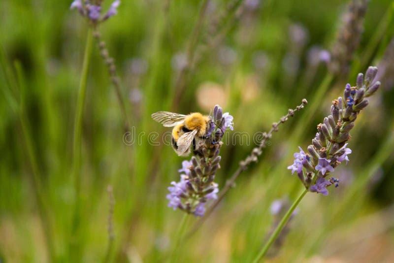 Bumblebee zbiera nektar od lawendowego kwiatu obrazy stock