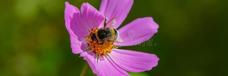 Bumblebee zbiera nektar od purpura kwiatu, w górę zdjęcia royalty free
