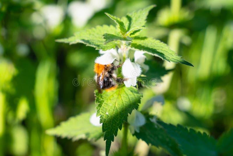Bumblebee zbiera pollen na pokrzywowych kwiatach w wiośnie insekty i zwierzęta zdjęcie stock
