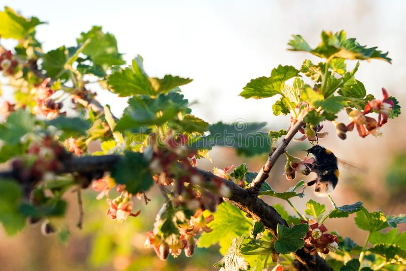 Bumblebee zbieracki nektar na kwiacie fotografia royalty free