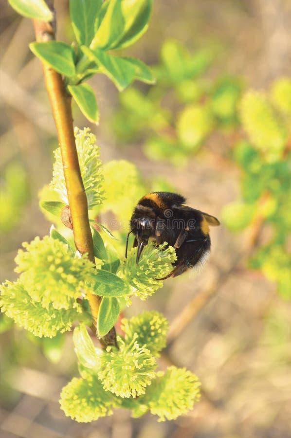 Bumblebee zbieracki nektar na kwiatonośnych kwitnących kwitnie kici wierzby krzaka krzaka kwiatach rozgałęzia się, pszczoła, wiel zdjęcie stock