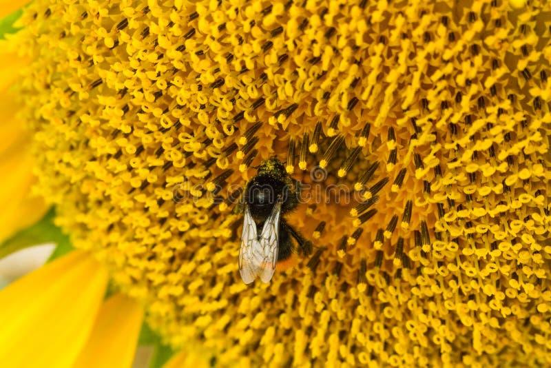Bumblebee zbieracki nektar od pięknego żółtego słonecznika Ekologii, ?rodowiska i ogrodnictwa poj?cie, obrazy royalty free