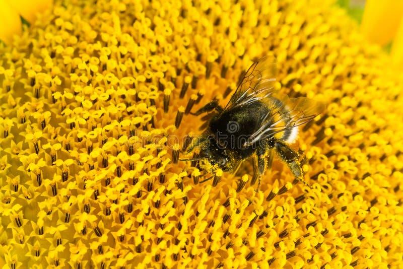 Bumblebee zbieracki nektar od pi?knego ? zdjęcia royalty free