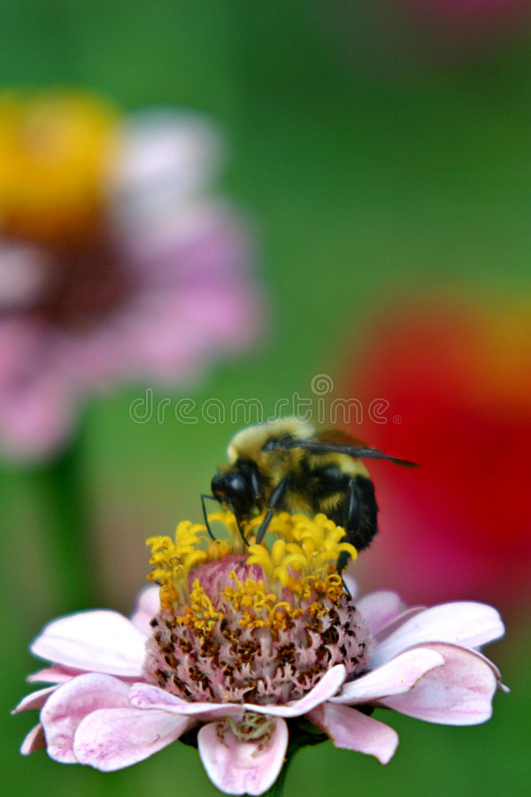 Bumblebee on zinnia stock image