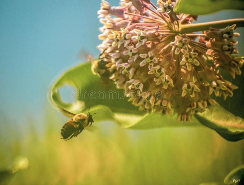 Bumblebees royalty free stock photo