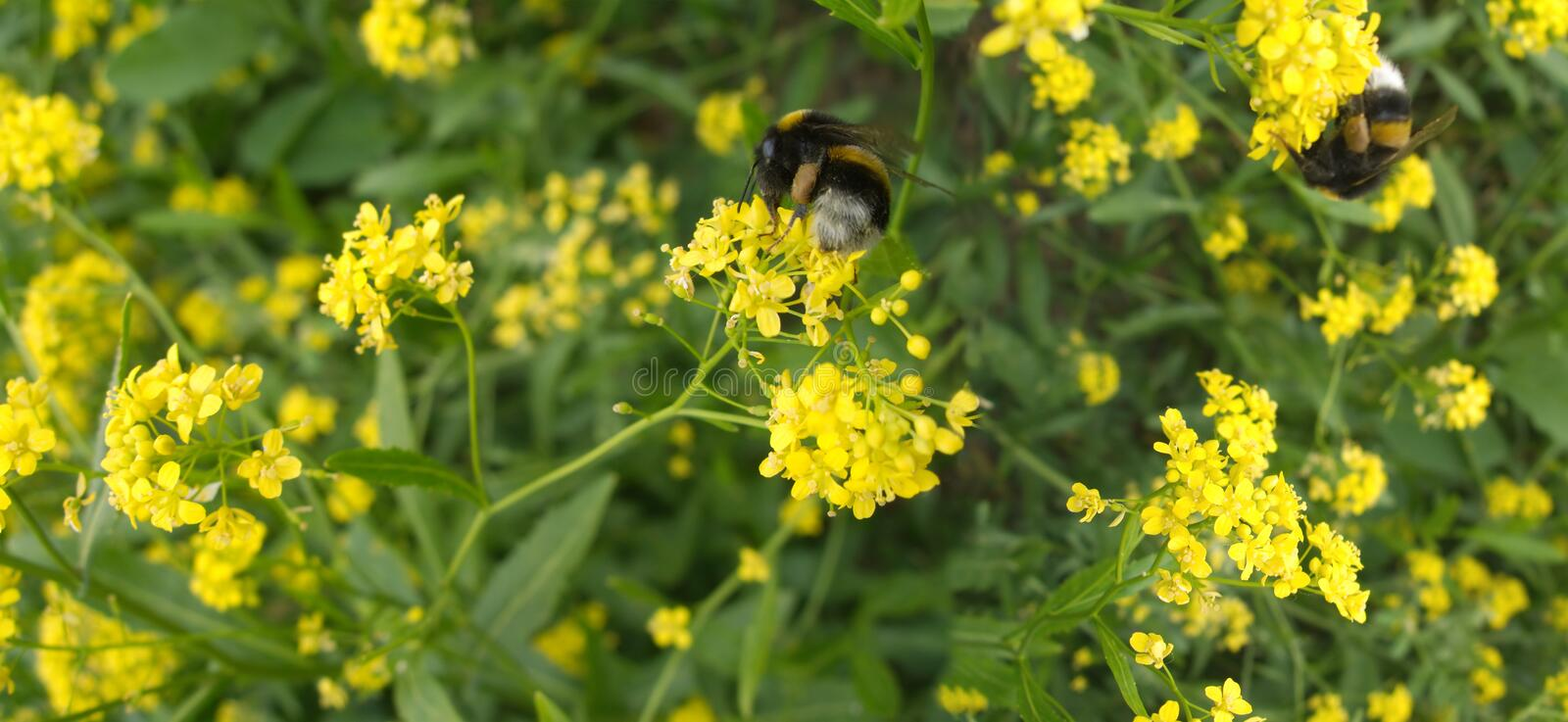 Bumblebees collected nectar in field flowers t. Two bumblebees collected nectar in field flowers thicket stock photos