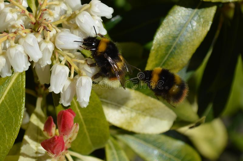 Bumblebees collecting pollen royalty free stock photography