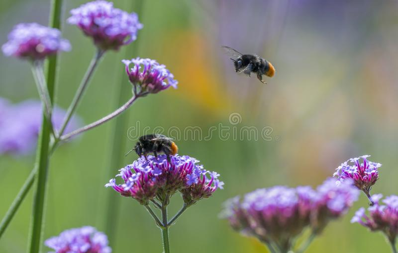 Bumblebees on flowers in the garden. Close up royalty free stock images