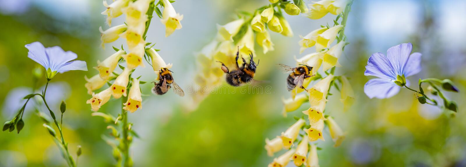 Bumblebees on flowers in the garden. Close up royalty free stock photo