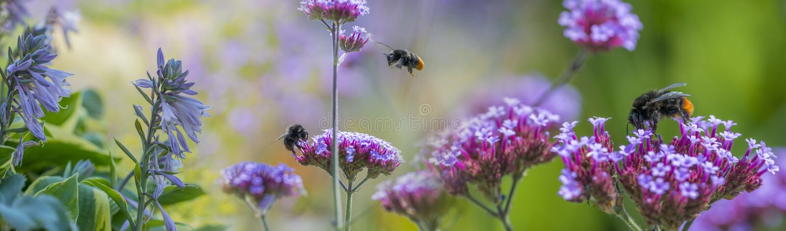 Bumblebees on flowers in the garden. Close up royalty free stock image