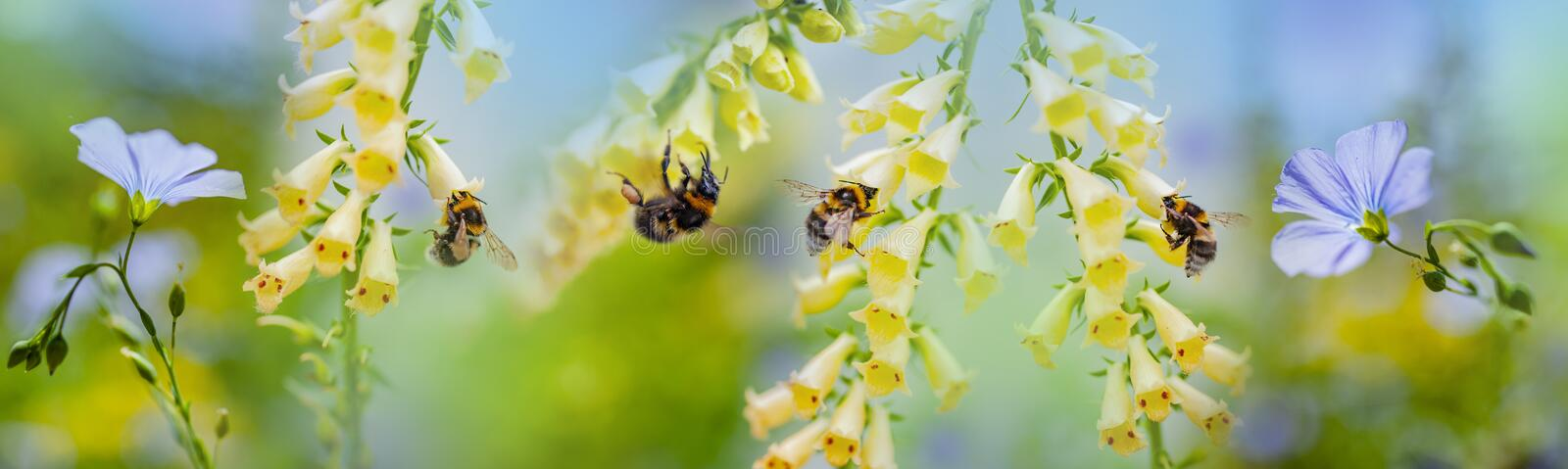 Bumblebees on flowers in the garden. Close up royalty free stock photos