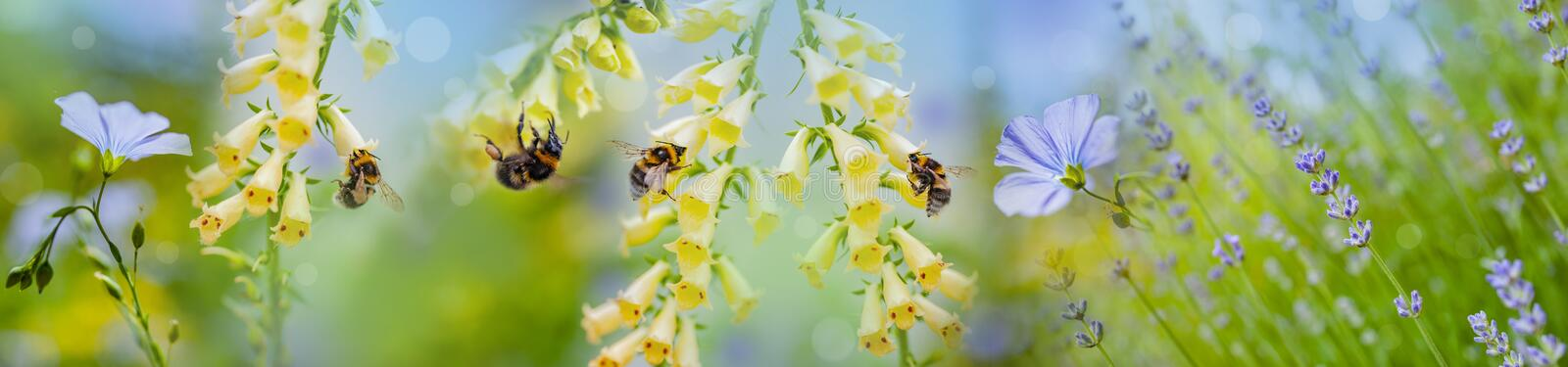 Bumblebees on flowers in the garden. Close up stock photo