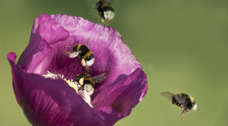 Bumblebees. Flying on a poppy royalty free stock photo