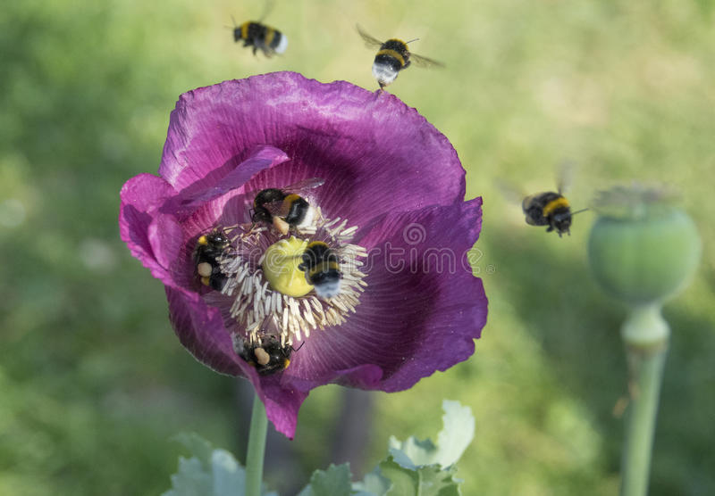 Bumblebees. Flying on a poppy stock images