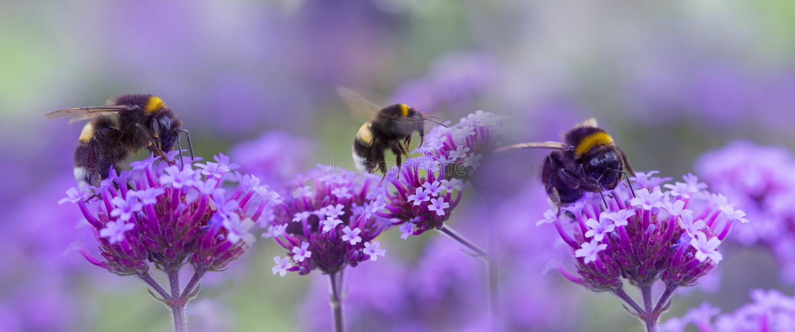 Bumblebees on the garden flower. Macro photo stock images