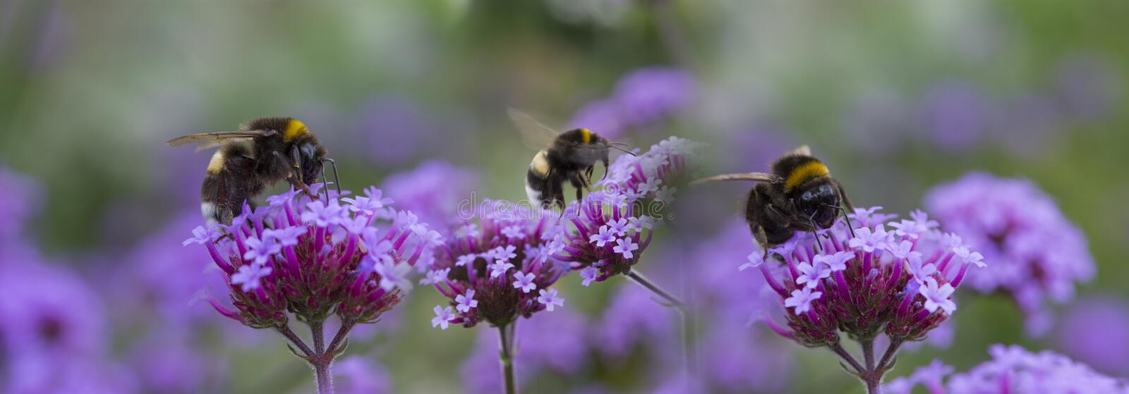 Bumblebees on the garden flower. Macro photo royalty free stock images