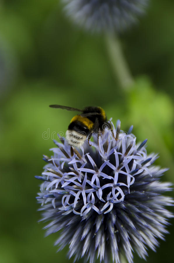 Bumblebees on a Globe Thistle. Bumblebees on a flower, a Globe Thistle stock photography