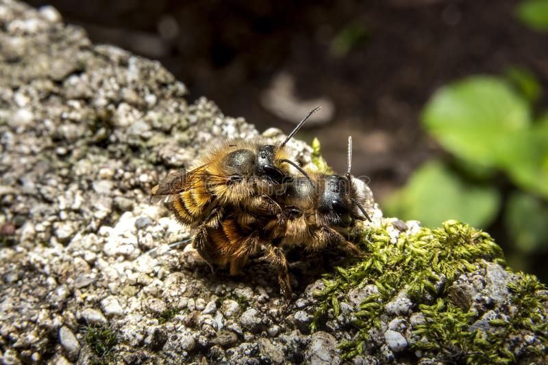Bumblebees mating on a rock. Macro shot with selective focus royalty free stock photos