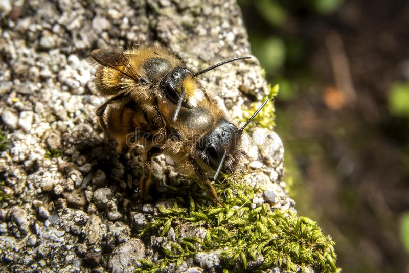 Bumblebees mating on a rock. Macro shot with selective focus stock images
