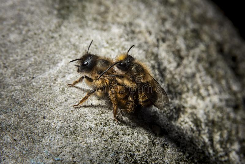 Bumblebees mating on a rock, dramatic light. Bumblebees mating on a rock with dramatic light and dark background stock photography