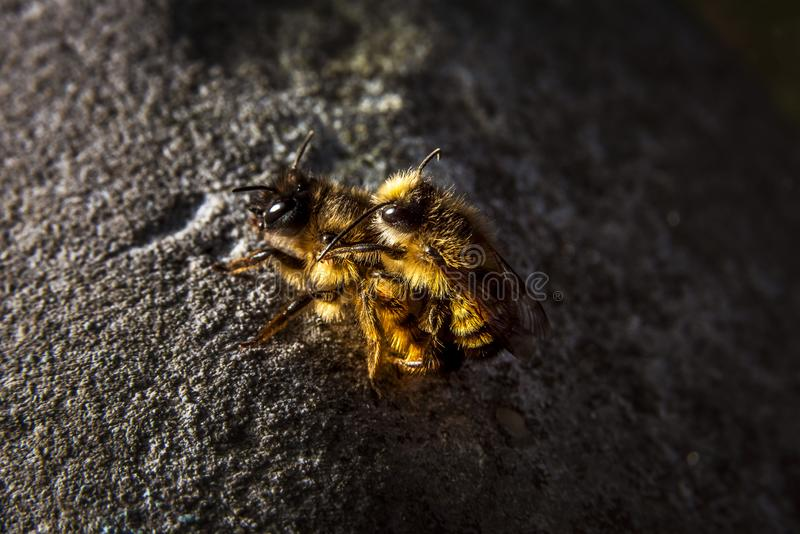 Bumblebees mating on a rock, dramatic light and dark background. Bumblebees mating on a rock with dramatic light and dark background royalty free stock photos