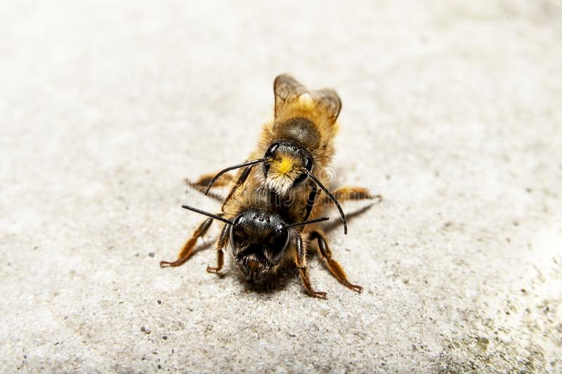 Bumblebees mating on a rock, frontal view. Bumblebees mating on a rock, macro frontal view on neutral background royalty free stock photography