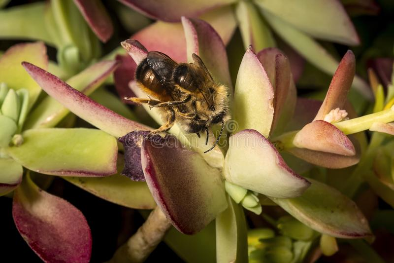 Bumblebees mating on a succulent plant. Leaf royalty free stock photos