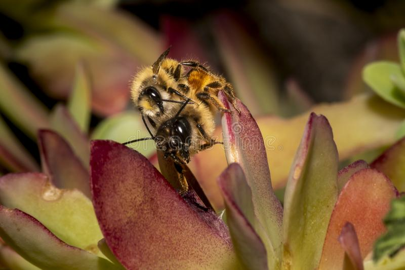 Bumblebees mating on a succulent plant. Leaf royalty free stock photography