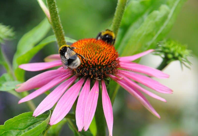 Bumblebees na ciepłym dniu outside w lato ogródzie zdjęcia royalty free