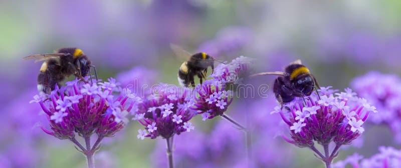 Bumblebees na ogrodowym kwiacie obrazy stock