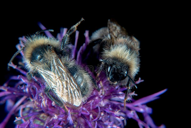 Bumblebees up close. Bumblebees on a purple thistle stock images