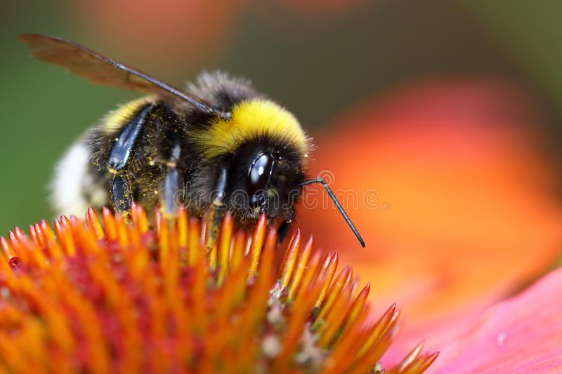 Bumblebees are good pollinators of all kinds of plants and fruit trees. Bumblebees are quiet and funny animals and live their own lives and do not bother people stock photos