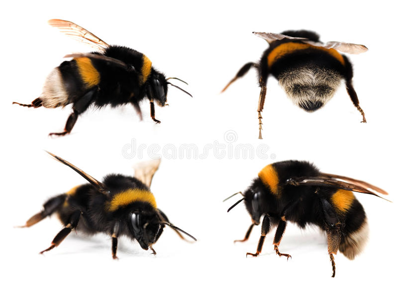 Bumblebees set. Collection of Bumblebees isolated on white.Studio shot stock photo