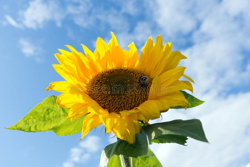 Bumblebees are sitting on a beautiful blooming sunflower against the blue sky. Summer landscape. Bumblebees are sitting on a beautiful blooming sunflower stock photo