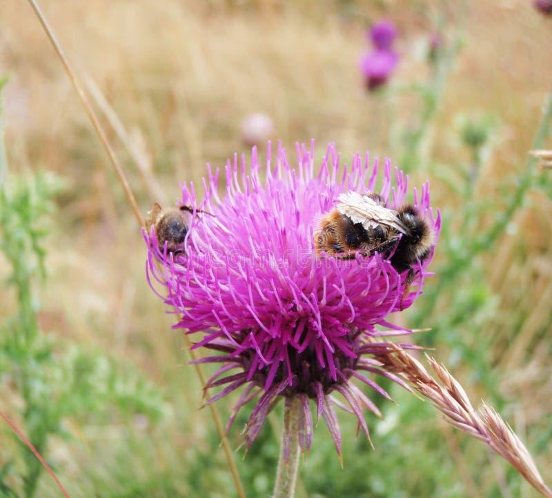 Bumblebees - thistle royalty free stock photo