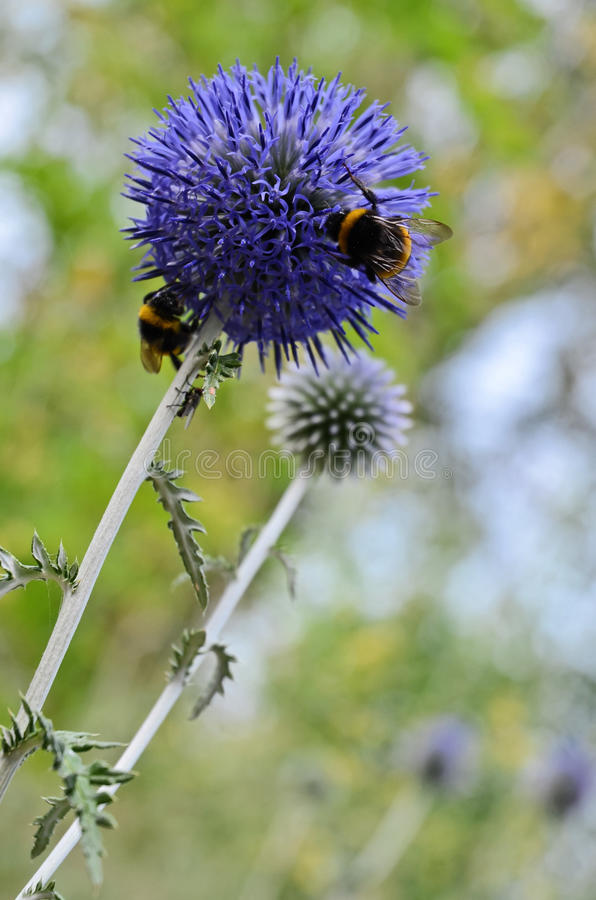 Bumblebees. Two bumblebees on a wild flower (pollination royalty free stock photos