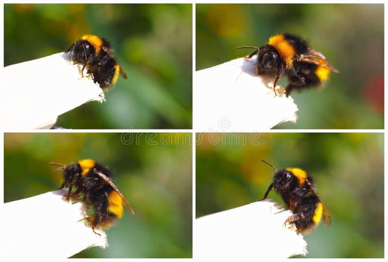 bumblebees ustawiający fotografia royalty free
