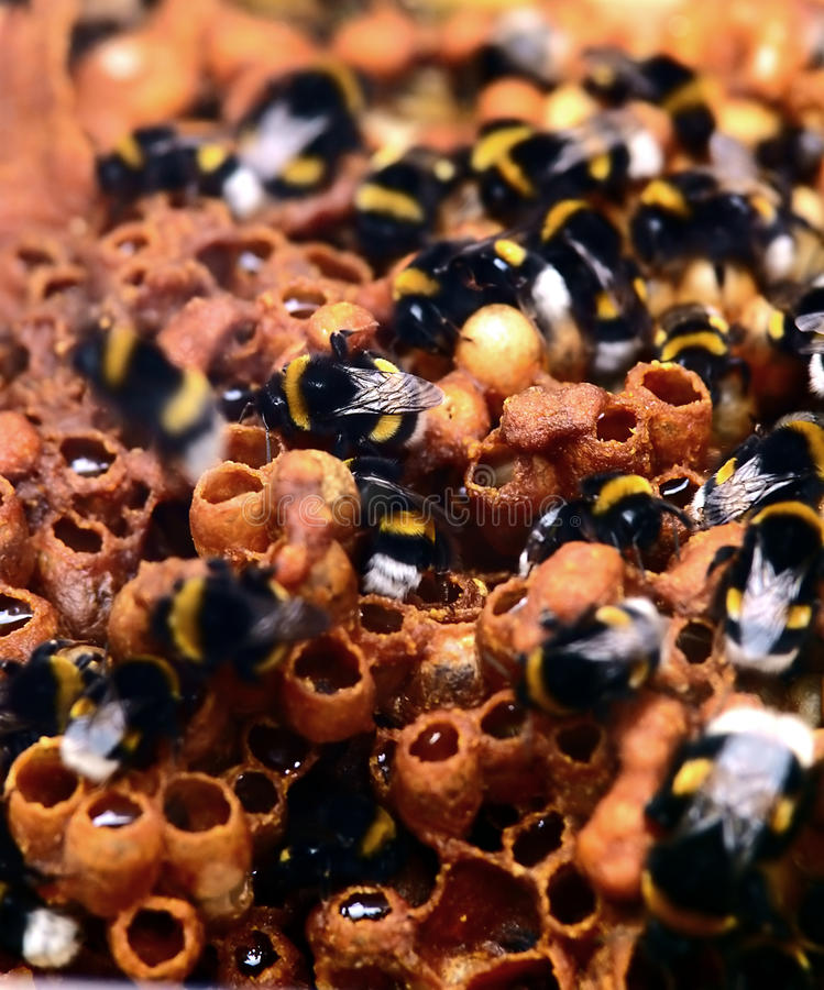 Bumblebees at work stock image
