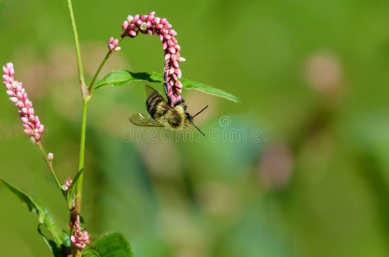 Bumblebi hängande från vilda blommor arkivbilder
