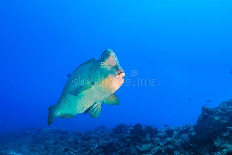 Bumphead鹦嘴鱼 库存图片