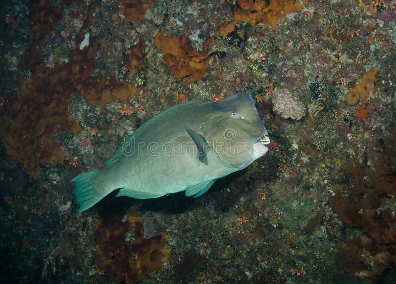 Bumphead Parrotfish royalty free stock images