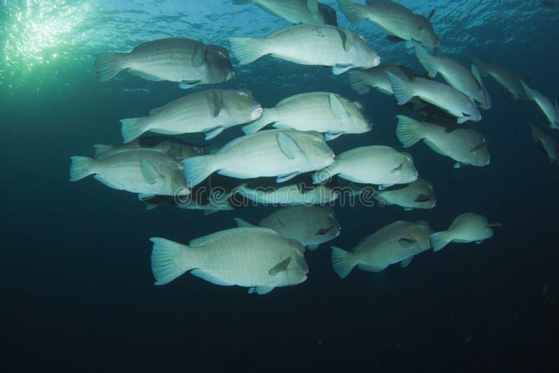Bumphead Parrotfish stock images
